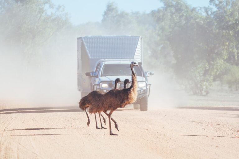 Emus Crossing a Road in Australia